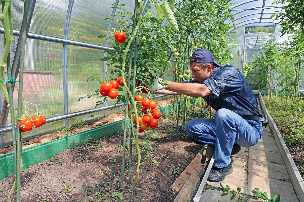 Caring For Your Tomato Plants