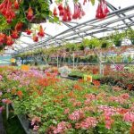 Fuchsias in a Greenhouse