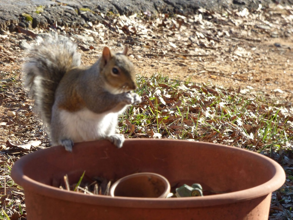 How to keep squirrels out of flower pots